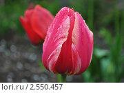 Тюльпаны. Стоковое фото, фотограф Гаврикова Ольга / Фотобанк Лори