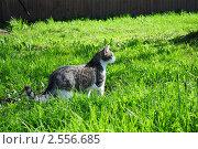 Красивый кот гуляет по траве и позирует фотографу. Стоковое фото, фотограф Евгений Никитин / Фотобанк Лори