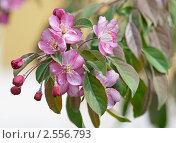Купить «Яблоневый цвет», эксклюзивное фото № 2556793, снято 22 мая 2011 г. (c) Валерия Попова / Фотобанк Лори