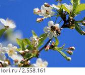 Пчела на белом цветке вишни. Стоковое фото, фотограф Екатерина Усынина / Фотобанк Лори