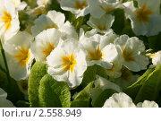Купить «Белые примулы цветут (Primula). Утренняя роса на белых лепестках», эксклюзивное фото № 2558949, снято 21 мая 2011 г. (c) Щеголева Ольга / Фотобанк Лори