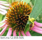 Цветочный паук притаился возле цветка. Стоковое фото, фотограф Анастасия Кудряшова / Фотобанк Лори