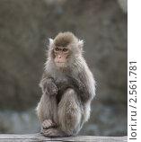 Японская макака (Macaca fuscata), фото № 2561781, снято 27 мая 2011 г. (c) Валерия Попова / Фотобанк Лори