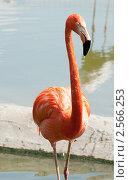 Купить «Розовый фламинго. Московский зоопарк», фото № 2566253, снято 29 мая 2011 г. (c) Екатерина Овсянникова / Фотобанк Лори