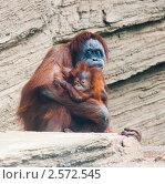 Купить «Орангутан с детенышем», фото № 2572545, снято 29 мая 2011 г. (c) E. O. / Фотобанк Лори