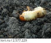 Личинка майского жука и садовые муравьи. Стоковое фото, фотограф Алексей Мещеряков / Фотобанк Лори
