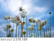 Купить «Ветреницы лесные на фоне неба», фото № 2578189, снято 5 июня 2011 г. (c) Виктория Катьянова / Фотобанк Лори