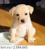 Купить «Маленький щенок сидящий на полу», фото № 2584665, снято 19 мая 2011 г. (c) Татьяна Кахилл / Фотобанк Лори