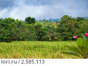 Зеленое рисовое поле. Остров Бали (2011 год). Стоковое фото, фотограф Ольга Дудина / Фотобанк Лори