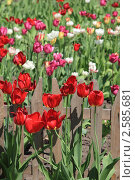 Купить «Разноцветные тюльпаны на клумбе возле деревянного забора весной», фото № 2585681, снято 12 мая 2011 г. (c) Sea Wave / Фотобанк Лори