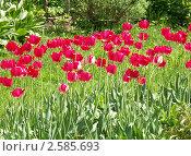 Купить «Тюльпаны», эксклюзивное фото № 2585693, снято 29 мая 2011 г. (c) Михаил Карташов / Фотобанк Лори