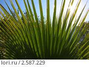 Лист пальмы. Стоковое фото, фотограф Камиля Сайдашева / Фотобанк Лори