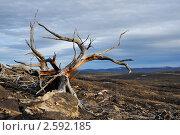 Купить «Погибшее дерево на склоне сопки», фото № 2592185, снято 31 мая 2011 г. (c) Валерий Александрович / Фотобанк Лори