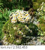 Купить «Фестиваль флористики «Цветень», композиция из ромашек на фоне природы», фото № 2592453, снято 4 июля 2010 г. (c) ElenArt / Фотобанк Лори
