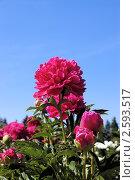 Купить «Бордовые пионы на фоне голубого неба», фото № 2593517, снято 12 июня 2011 г. (c) Илюхина Наталья / Фотобанк Лори