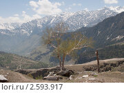 Береза в горах. Гималаи, северная Индия, фото № 2593917, снято 19 мая 2011 г. (c) Виктор Карасев / Фотобанк Лори