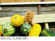 Купить «Урожай кабачков», эксклюзивное фото № 2594381, снято 28 июля 2010 г. (c) Ольга Визави / Фотобанк Лори