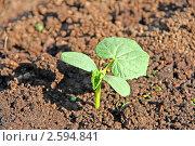 Купить «Огуречный росток на грядке», фото № 2594841, снято 5 июня 2011 г. (c) Васильева Татьяна / Фотобанк Лори
