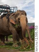 Индийский слон. Стоковое фото, фотограф Иван Носов / Фотобанк Лори