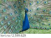 Купить «Самец обыкновенного павлина с раскрытым «хвостом»», фото № 2599629, снято 12 июня 2011 г. (c) Pukhov K / Фотобанк Лори
