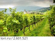 Купить «Виноградник», фото № 2601521, снято 11 сентября 2009 г. (c) Величко Микола / Фотобанк Лори