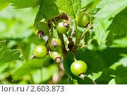 Ягоды смородины, эксклюзивное фото № 2603873, снято 12 июня 2011 г. (c) Константин Косов / Фотобанк Лори