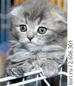Купить «Котенок породы шотландская вислоухая», фото № 2606301, снято 19 июня 2011 г. (c) RedTC / Фотобанк Лори