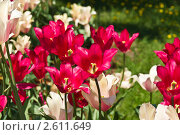 Тюльпаны. Стоковое фото, фотограф Корнева Юлия / Фотобанк Лори