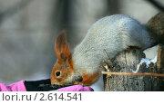 Купить «Белка ест семечки с ладони», видеоролик № 2614541, снято 14 февраля 2011 г. (c) Игорь Жоров / Фотобанк Лори