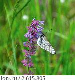 Бабочка-капустница на сиреневом цветке. Стоковое фото, фотограф Дарья Столярова / Фотобанк Лори