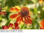 Купить «Яркий цветок  (Гайлардия, Gaillardia)», эксклюзивное фото № 2617333, снято 30 августа 2009 г. (c) Щеголева Ольга / Фотобанк Лори