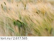Купить «Зеленые колосья ржи», фото № 2617565, снято 23 июля 2019 г. (c) Алексей Букреев / Фотобанк Лори
