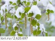Купить «Молодые березовые листья в снегу», фото № 2620697, снято 23 мая 2011 г. (c) Икан Леонид / Фотобанк Лори