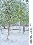 Купить «Молодые березы в снегу», фото № 2633741, снято 23 мая 2011 г. (c) Икан Леонид / Фотобанк Лори