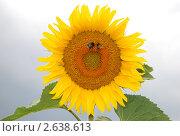 Подсолнух цветущий. Стоковое фото, фотограф Анжелика Сеннова / Фотобанк Лори