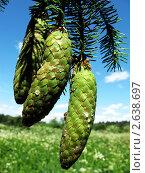 Висящие зелёные шишки ели крупным планом. Стоковое фото, фотограф Геннадий чупругин / Фотобанк Лори