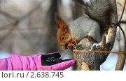 Купить «Белка ест семечки с ладони», видеоролик № 2638745, снято 14 февраля 2011 г. (c) Игорь Жоров / Фотобанк Лори