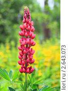 Купить «Цветок люпина в поле», фото № 2643073, снято 18 июня 2011 г. (c) Данила Большаков / Фотобанк Лори