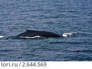 Купить «Горбатый кит  (Megaptera novaeangliae)», фото № 2644569, снято 17 августа 2009 г. (c) Тимофей Косачев / Фотобанк Лори