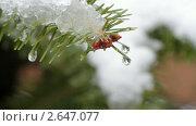 Купить «Ветки ели под весенним снегом», видеоролик № 2647077, снято 20 января 2011 г. (c) ILLYCH / Фотобанк Лори