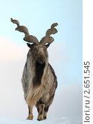 Купить «Московский зоопарк, горный козёл», эксклюзивное фото № 2651545, снято 16 января 2011 г. (c) Дмитрий Неумоин / Фотобанк Лори