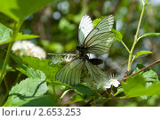 Спаривание бабочек  (боярышница) Стоковое фото, фотограф Пётр Ваньков / Фотобанк Лори