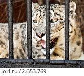Снежный барс из Ленинградского зоопарка. Стоковое фото, фотограф Елена Бабаина / Фотобанк Лори