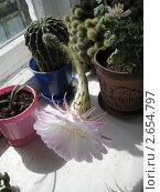 Купить «Цветущий кактус», фото № 2654797, снято 13 июля 2011 г. (c) Плотников Михаил / Фотобанк Лори