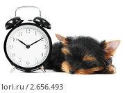 Купить «Щенок йоркшир-терьера спит у будильника», фото № 2656493, снято 18 декабря 2018 г. (c) Дмитрий Калиновский / Фотобанк Лори