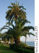 Купить «Пальма в Гаграх», эксклюзивное фото № 2659377, снято 3 июля 2010 г. (c) ФЕДЛОГ.РФ / Фотобанк Лори