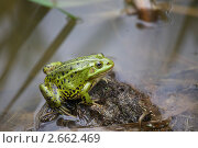 Купить «Зеленая лягушка сидит на берегу пруда», фото № 2662469, снято 17 июля 2011 г. (c) Яна Королёва / Фотобанк Лори