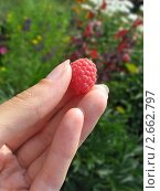 Купить «Женские пальцы держат ягоду малины», фото № 2662797, снято 16 июля 2011 г. (c) Светлана Ильева (Иванова) / Фотобанк Лори