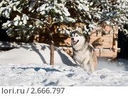 Купить «Сибирский хаски зимой», фото № 2666797, снято 16 августа 2018 г. (c) Дмитрий Калиновский / Фотобанк Лори