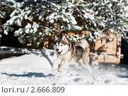 Купить «Сибирский хаски зимой», фото № 2666809, снято 16 августа 2018 г. (c) Дмитрий Калиновский / Фотобанк Лори